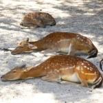 Female common deer resting — Stock Photo #53573889