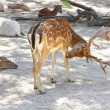Common deer with its antlers — Stock Photo #53573895