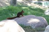 Walking on a rock squirrel — Stock Photo