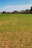 穀物成長と耕される土地 — ストック写真