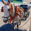 Beautiful horse pulling a carriage bells and participate in the — Stock Photo #61318097