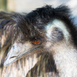 Emu (Dromaius novaehollandiae) — Stock Photo #61318615