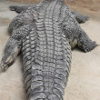 Detail of a giant Nile crocodile along (Crocodylus niloticus) — Stock Photo #61318855