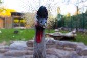 Crowned Crane (Balearica regulorum) — Stock Photo