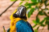 сине-желтая ара (ara ararauna) — Стоковое фото