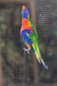 Rainbow lorikeets (Trichoglossus haematodus) — Stock Photo