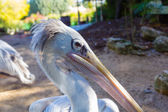 Grey Pelican (Pelecanus rufescens) — Stock Photo