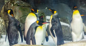 King Penguin (Aptenodytes patagonicus) — Stock Photo
