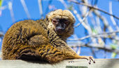 Rufo red lemur (Varecia variegata rubra) — Stock Photo