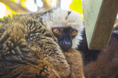 Rufo red lemur (Varecia variegata rubra) — Stock Photo