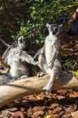 Ring Tailed Lemur or white front (Lemur catta) — Stock Photo