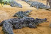 Group of dangerous Nile crocodiles resting (Crocodylus niloticus — Stock Photo