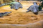 Groep van gevaarlijke Nile krokodillen rusten (Crocodylus niloticus — Stockfoto