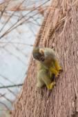 Yellow squirrel monkey (Saimiri sciureus) — Stockfoto