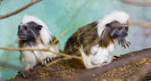 Geoffroy's marmoset  (Callithrix geoffroyi) — Stock Photo