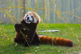 The panda red or lesser panda (Ailurus fulgens) — Stock Photo