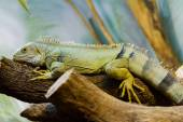 The fiji iguana (Brachylophus fasciatus) — Fotografia Stock