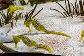 Seahorse (Hippocampus reidi) — Stock Photo