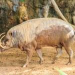 Babirusa in a Zoo — Stock Photo #72428465