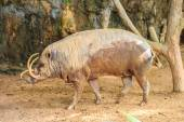 Babirusa in a Zoo — Stock Photo