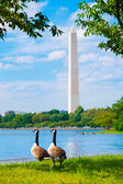 Washington Monument and Tidal Basin ducks DC — Stock Photo
