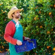 Farmer man harvesting oranges in an orange tree — Stock Photo #70620737
