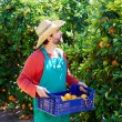 Farmer man harvesting oranges in an orange tree — Stock Photo #70620859