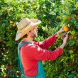 Farmer man harvesting oranges in an orange tree — Stock Photo #70621131