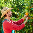 Farmer man harvesting oranges in an orange tree — Stock Photo #70621419