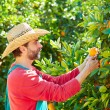 Farmer man harvesting oranges in an orange tree — Stock Photo #70621479
