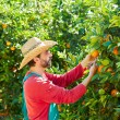 Farmer man harvesting oranges in an orange tree — Stock Photo #70621545