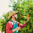 Farmer man harvesting oranges in an orange tree — Stock Photo #70621653