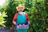 Hombre del granjero de cosecha de naranjas de un naranjo — Foto de Stock