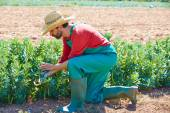 Farmer man harvesting lima beans in orchard — Stock Photo
