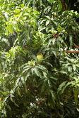 Mango tree — Stock Photo