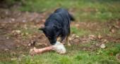 Cane e osso — Foto Stock