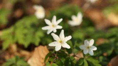 Anemone flowers — Stock Video