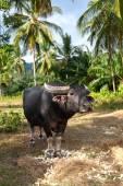 Búfalo, selva, palmeira — Fotografia Stock