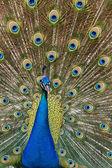 Peacock bird — Stock Photo