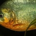 Red bellied piranha fish — Stock Photo #60461537
