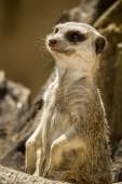 Meerkat petit ou suricate — Photo