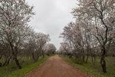Beautiful view of almond trees — Stock Photo