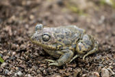 Iberian spadefoot toad (Pelobates cultripes) — Stock Photo