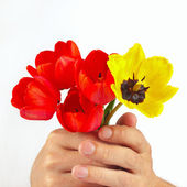 Hands gives a bouquet of red and yellow tulips on white background — Stock Photo