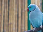 Blue ringneck parrot — Stock Photo