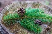 Fur-tree branches with cones on stump — Stock Photo