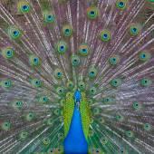 Peacock visar upp — Stockfoto