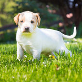Mixed-breed cute little puppy on grass. — Stock Photo