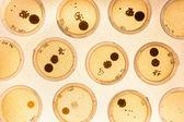 Växande bakterier i petriskålar. — Stockfoto