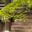 Japanese maple branch in fron tof the budhist temple — Stock Photo #66484889